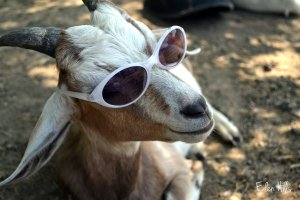 goat in sunglasses